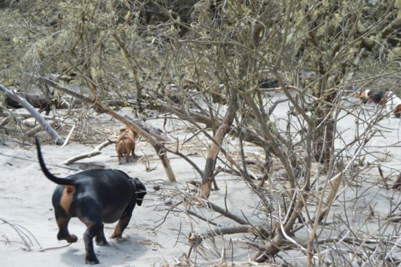 Wordless Wednesday: Doxies…and Yaks?