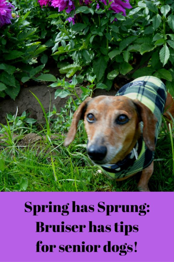 Spring has Sprung- Bruiser has tips for senior dogs!
